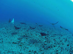 Hawaii boat diving eagle rays
