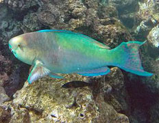 Hawaii parrot fish